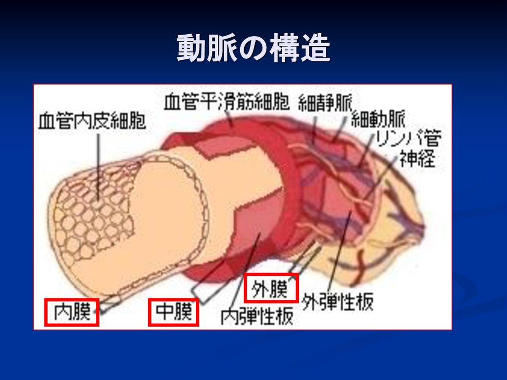 動脈の構造
