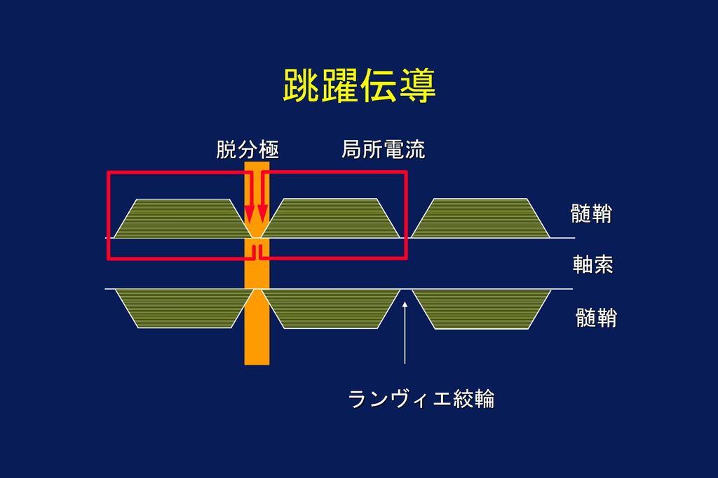 跳躍伝導 脱分極 局所電流 髄鞘 軸索 髄鞘 ランヴィエ絞輪
