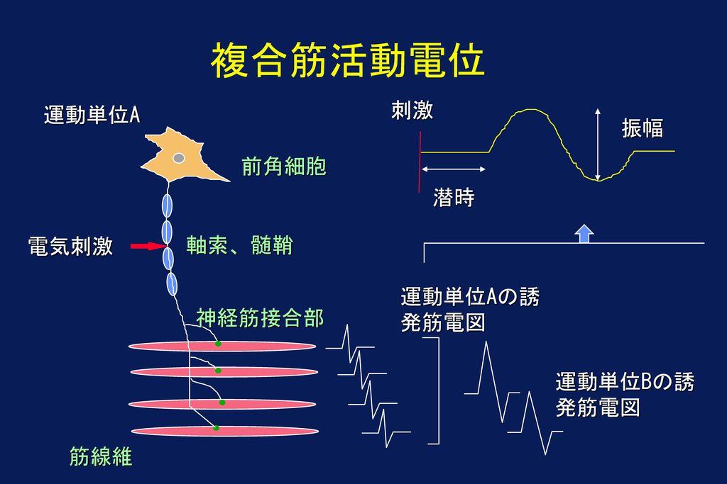 複合筋活動電位 刺激 運動単位A 振幅 前角細胞 潜時 電気刺激 軸索、髄鞘 運動単位Aの誘発筋電図 神経筋接合部 運動単位Bの誘発筋電図