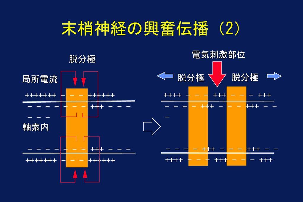 末梢神経の興奮伝播(2) 電気刺激部位 脱分極 脱分極 脱分極 局所電流 +++++++ - - - ++++++