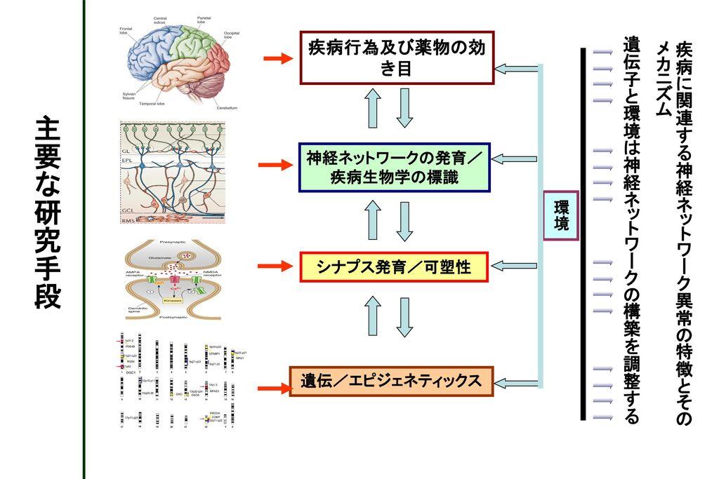 神経ネットワークの発育/疾病生物学の標識