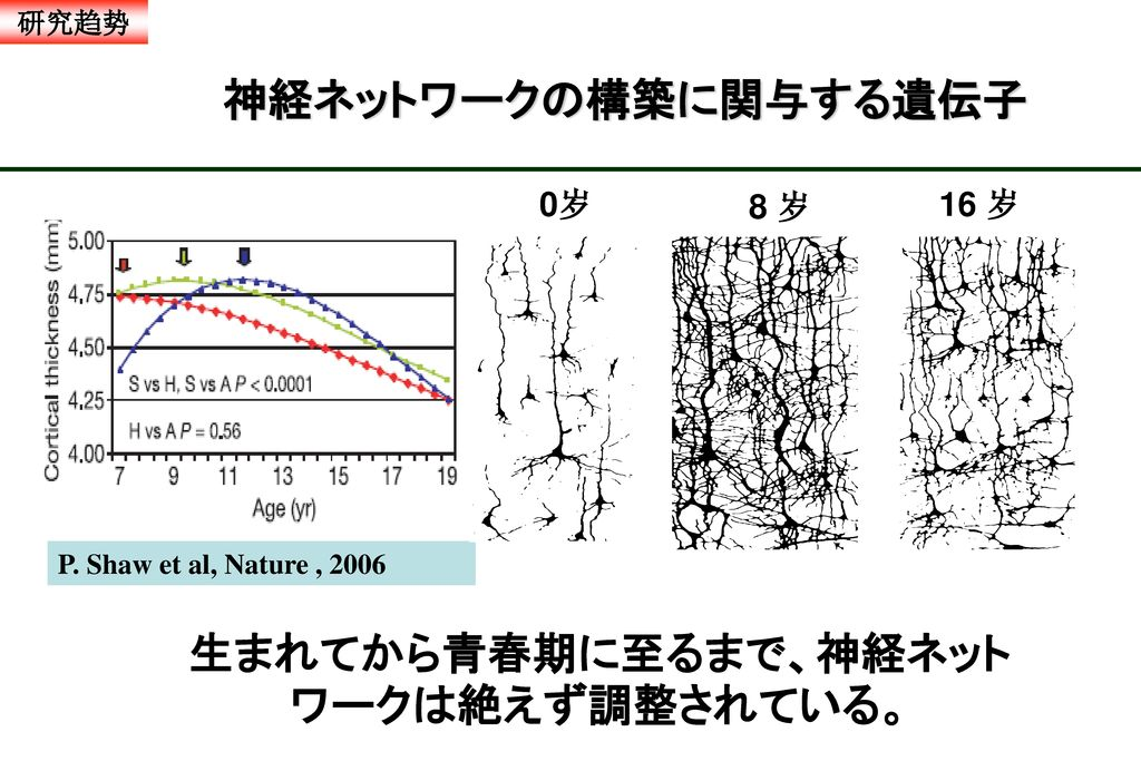 生まれてから青春期に至るまで、神経ネットワークは絶えず調整されている。