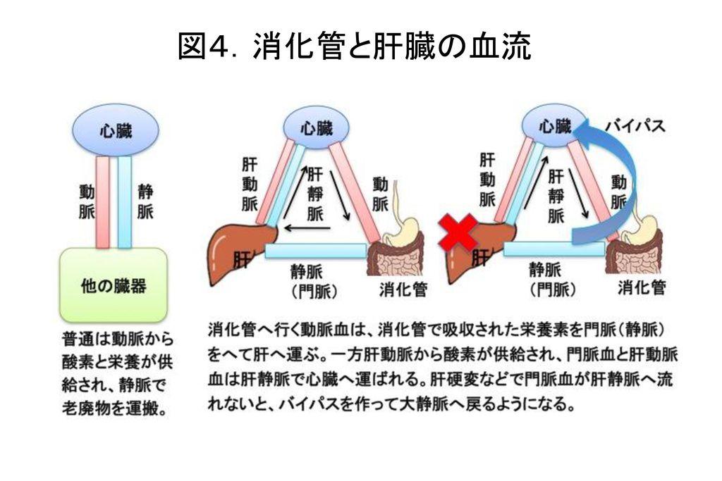 図4.消化管と肝臓の血流
