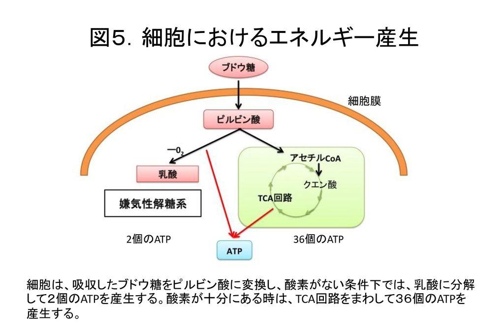 図5.細胞におけるエネルギー産生 細胞膜. 2個のATP. 36個のATP.