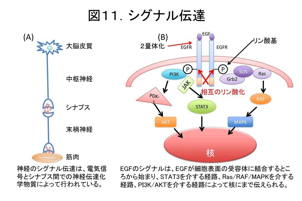 図11.シグナル伝達 (A) (B) 核 リン酸基 大脳皮質 2量体化 P P 中枢神経 JAK 相互のリン酸化 シナプス 末梢神経 筋肉
