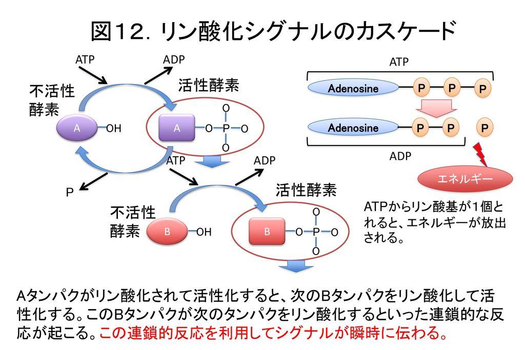 図12.リン酸化シグナルのカスケード 活性酵素 不活性 酵素 活性酵素 不活性 酵素
