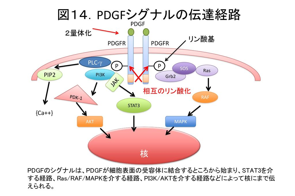 図14.PDGFシグナルの伝達経路 核 2量体化 リン酸基 相互のリン酸化 PDGF PDGFR PDGFR PLC-g P P PIP2