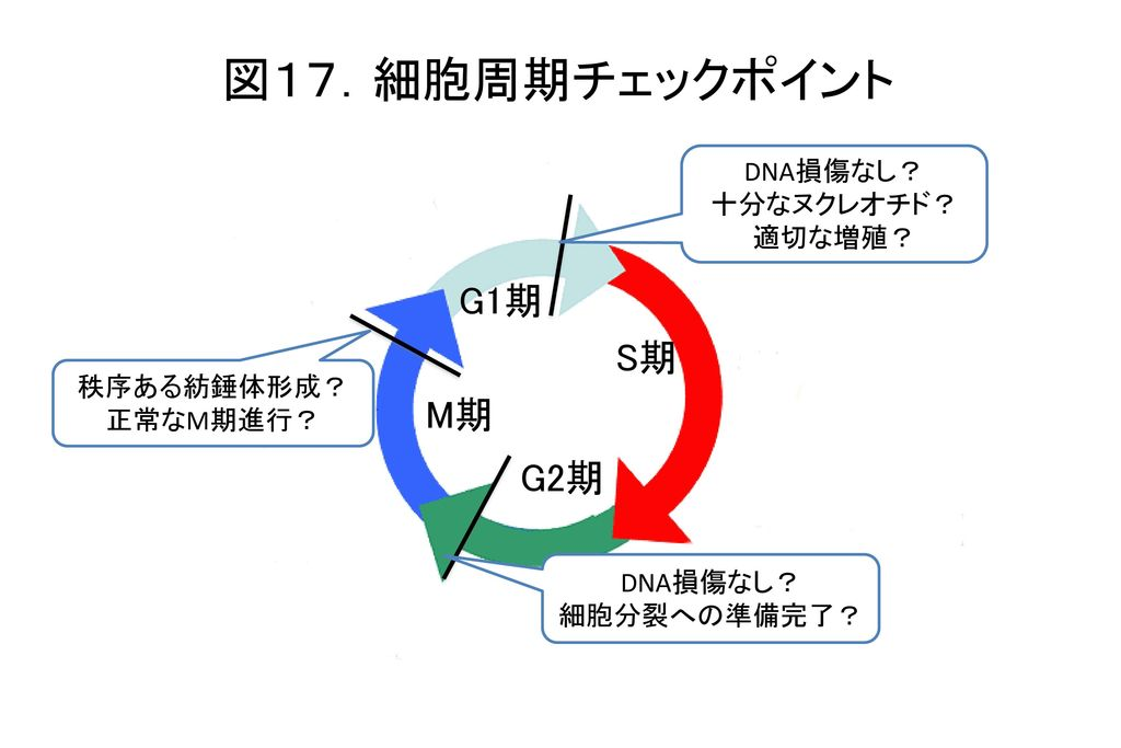 図17.細胞周期チェックポイント G1期 S期 M期 G2期 DNA損傷なし? 十分なヌクレオチド? 適切な増殖? 秩序ある紡錘体形成?