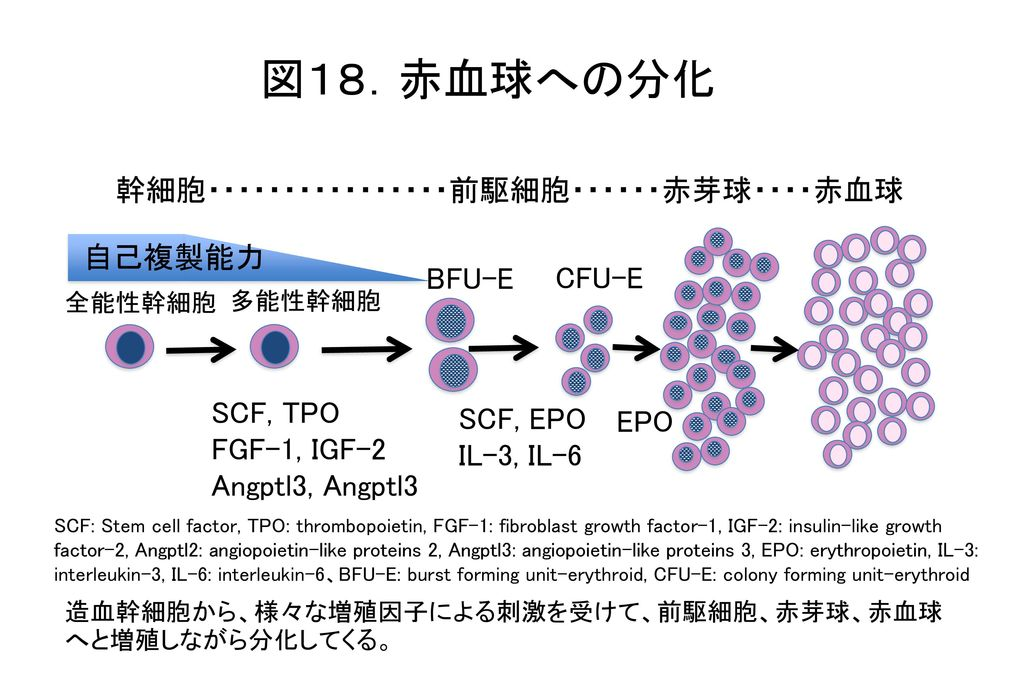 図18.赤血球への分化 幹細胞・・・・・・・・・・・・・・・・前駆細胞・・・・・・赤芽球・・・・赤血球 自己複製能力 BFU-E CFU-E