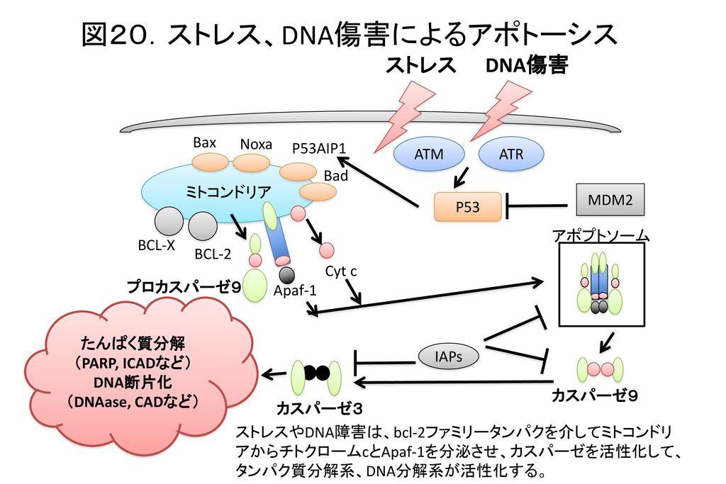 図20.ストレス、DNA傷害によるアポトーシス