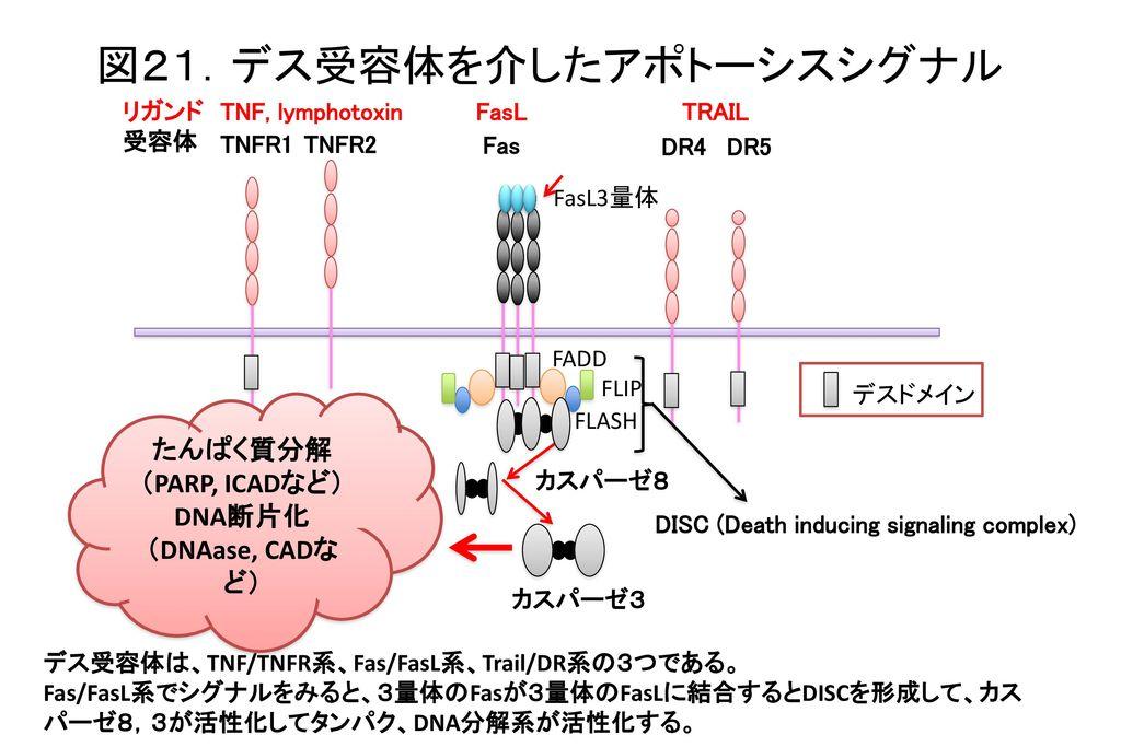 図21.デス受容体を介したアポトーシスシグナル