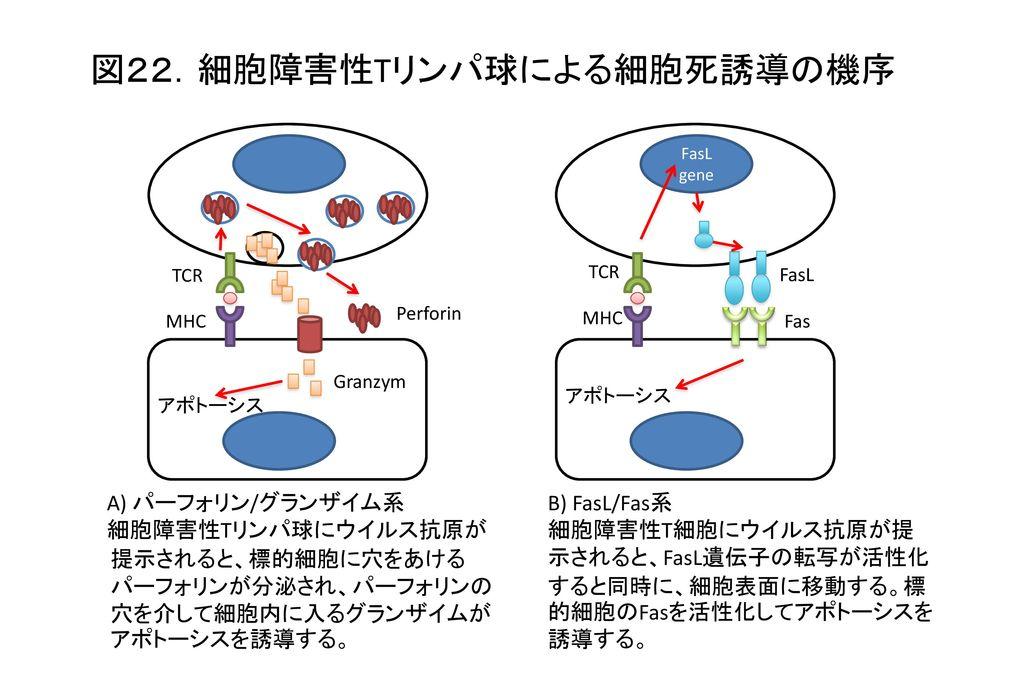 図22.細胞障害性Tリンパ球による細胞死誘導の機序