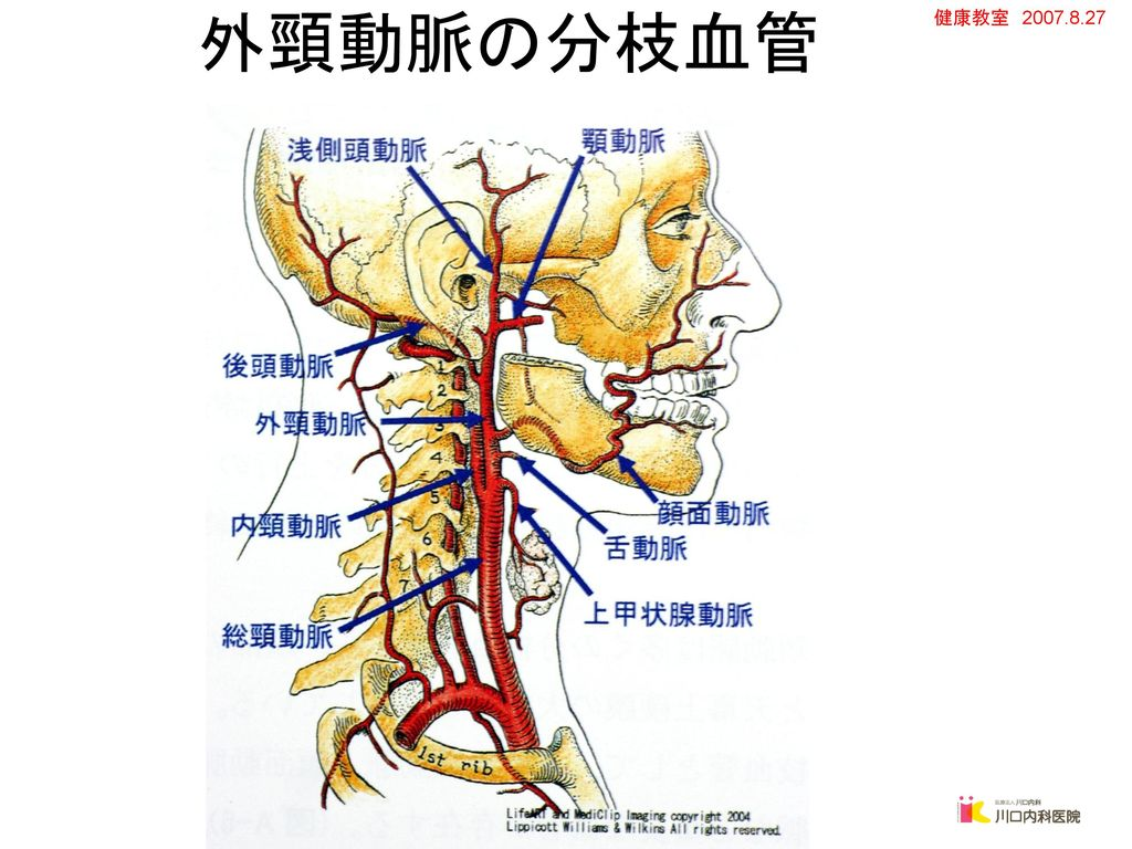 外頸動脈の分枝血管