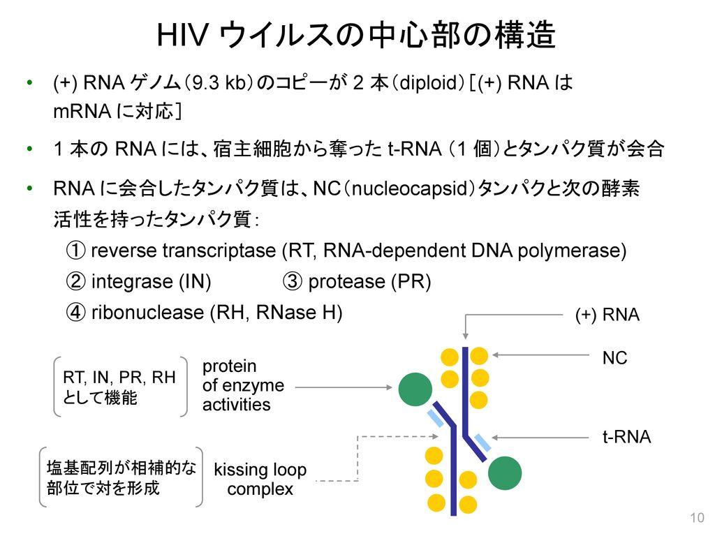 HIV ウイルスの中心部の構造 (+) RNA ゲノム(9.3 kb)のコピーが 2 本(diploid)[(+) RNA は mRNA に対応] 1 本の RNA には、宿主細胞から奪った t-RNA (1 個)とタンパク質が会合