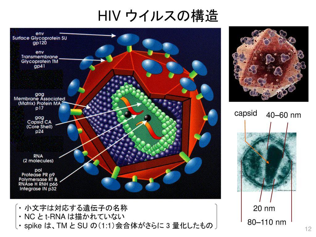 HIV ウイルスの構造 capsid 40–60 nm 20 nm 80–110 nm ・ 小文字は対応する遺伝子の名称