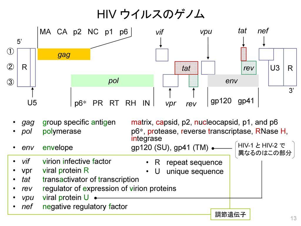 HIV ウイルスのゲノム MA CA p2 NC p1 p6 vif vpu tat nef gag R tat rev rev U3 R