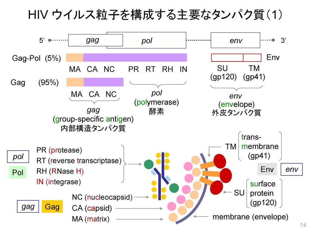 HIV ウイルス粒子を構成する主要なタンパク質(1)