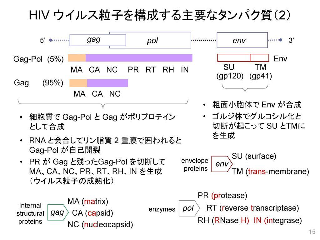 HIV ウイルス粒子を構成する主要なタンパク質(2)