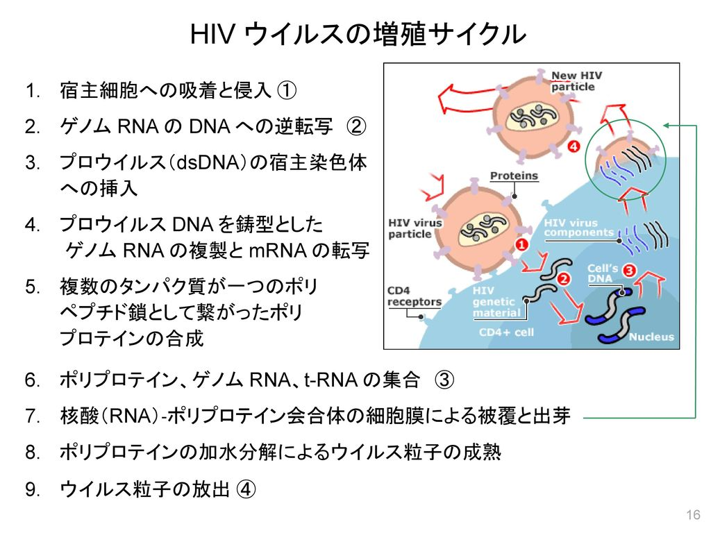 HIV ウイルスの増殖サイクル 1. 宿主細胞への吸着と侵入 ① 2. ゲノム RNA の DNA への逆転写 ②