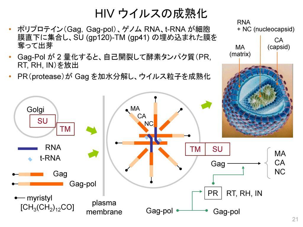 HIV ウイルスの成熟化 RNA. + NC (nucleocapsid) ポリプロテイン(Gag,Gag-pol)、ゲノム RNA、t-RNA が細胞 膜直下に集合し、SU (gp120)-TM (gp41) の埋め込まれた膜を 奪って出芽