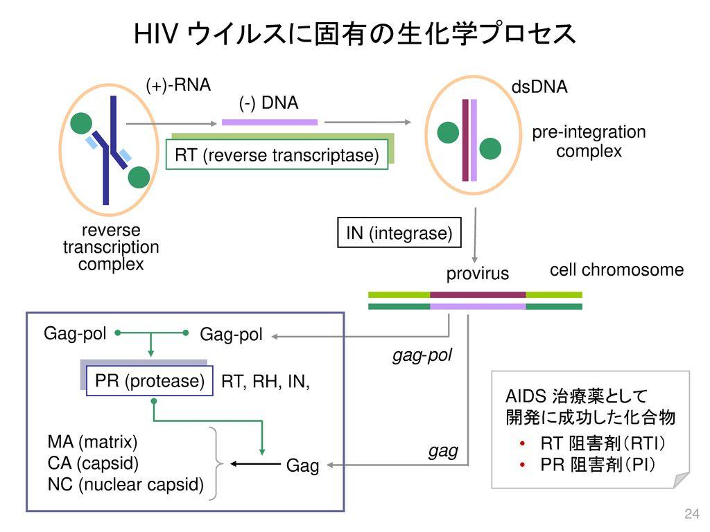 HIV ウイルスに固有の生化学プロセス (+)-RNA dsDNA (-) DNA pre-integration complex
