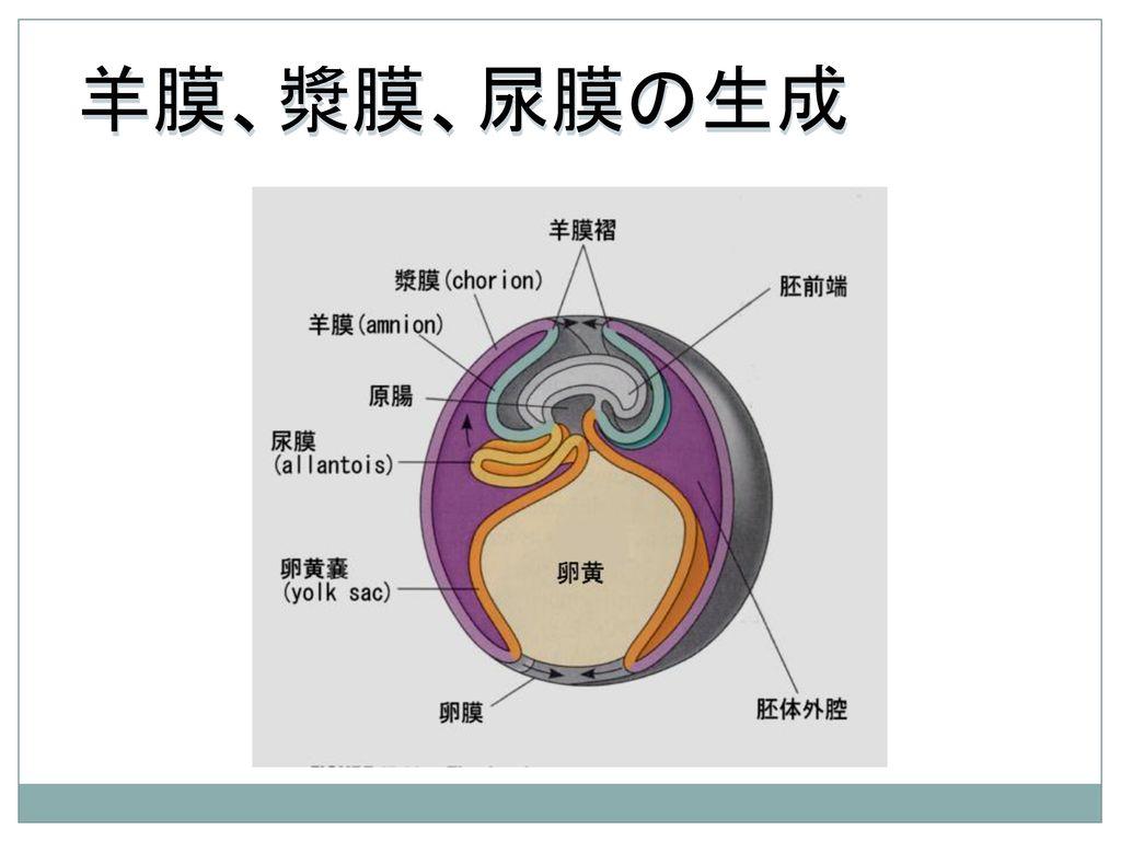 羊膜、漿膜、尿膜の生成