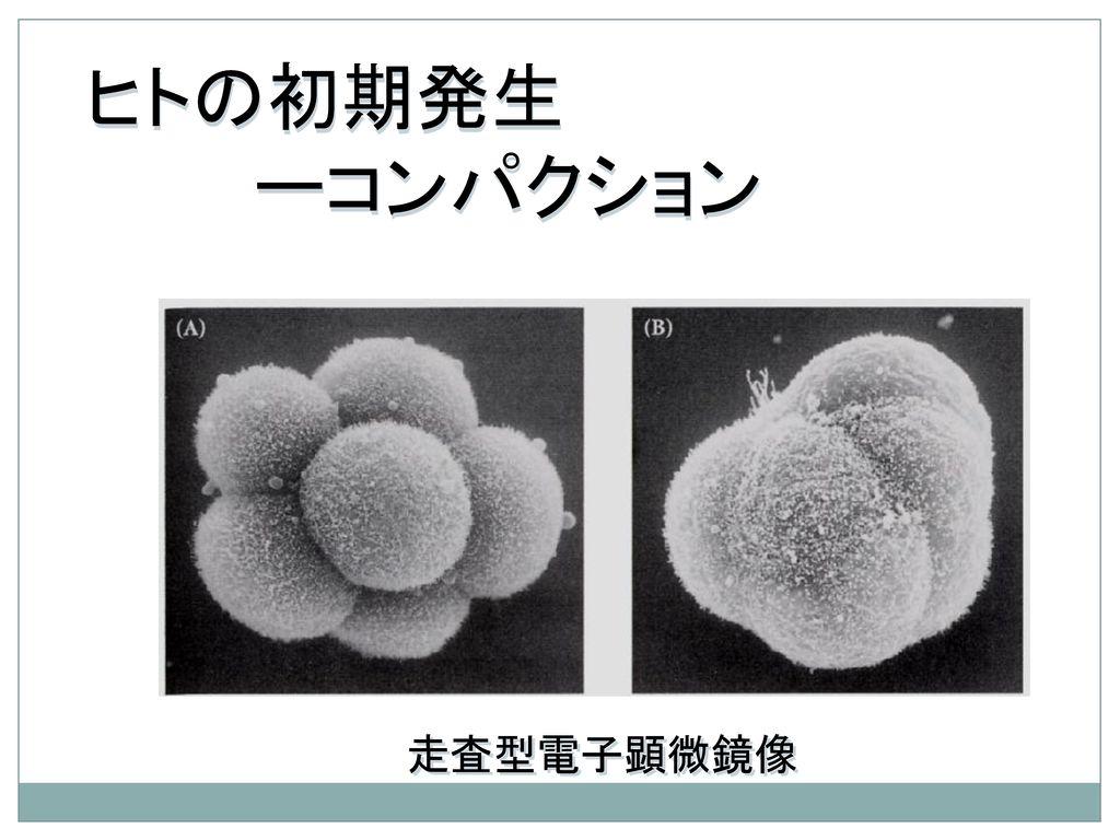 ヒトの初期発生 ーコンパクション 走査型電子顕微鏡像