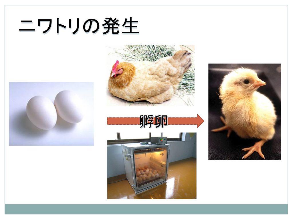 ニワトリの発生 孵卵