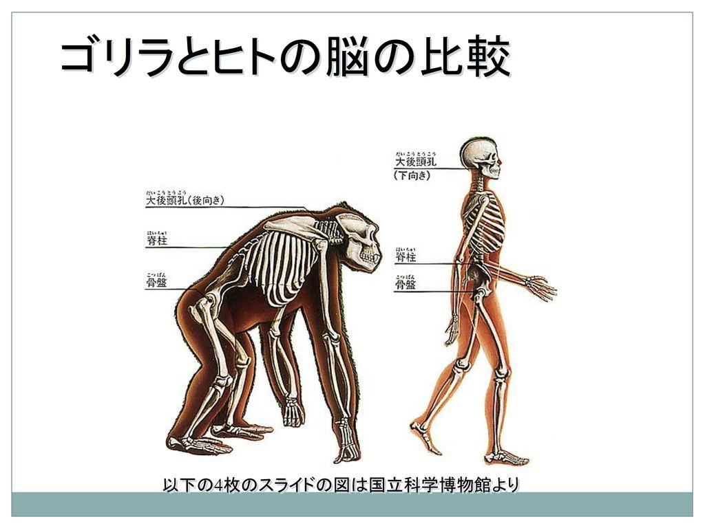 ゴリラとヒトの脳の比較 以下の4枚のスライドの図は国立科学博物館より