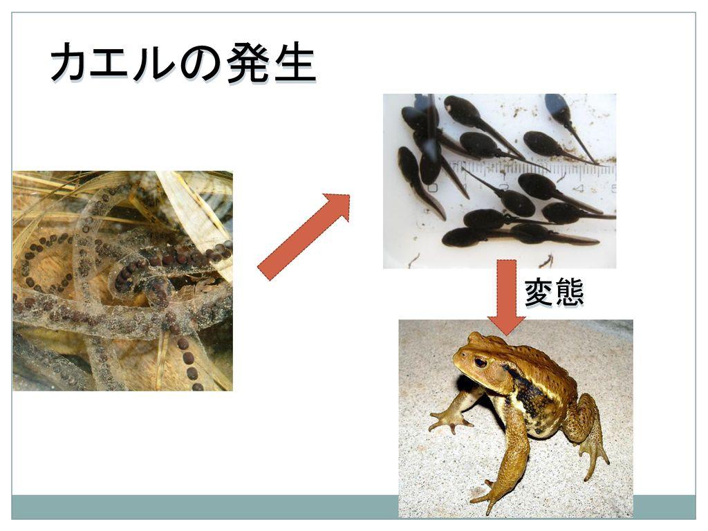 カエルの発生 変態