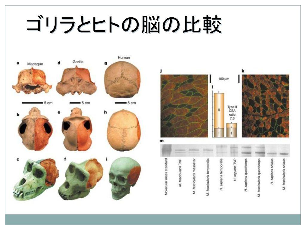 ゴリラとヒトの脳の比較