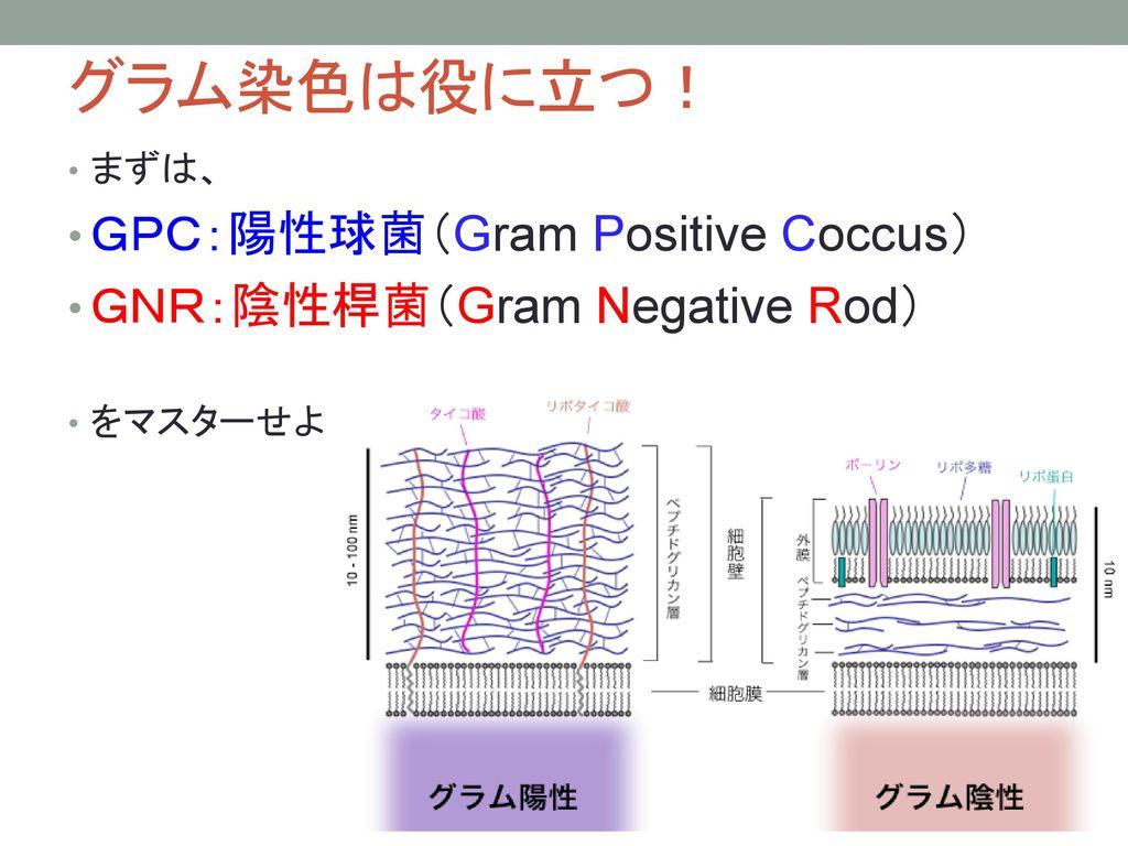 グラム染色は役に立つ! GPC:陽性球菌(Gram Positive Coccus) GNR:陰性桿菌(Gram Negative Rod)