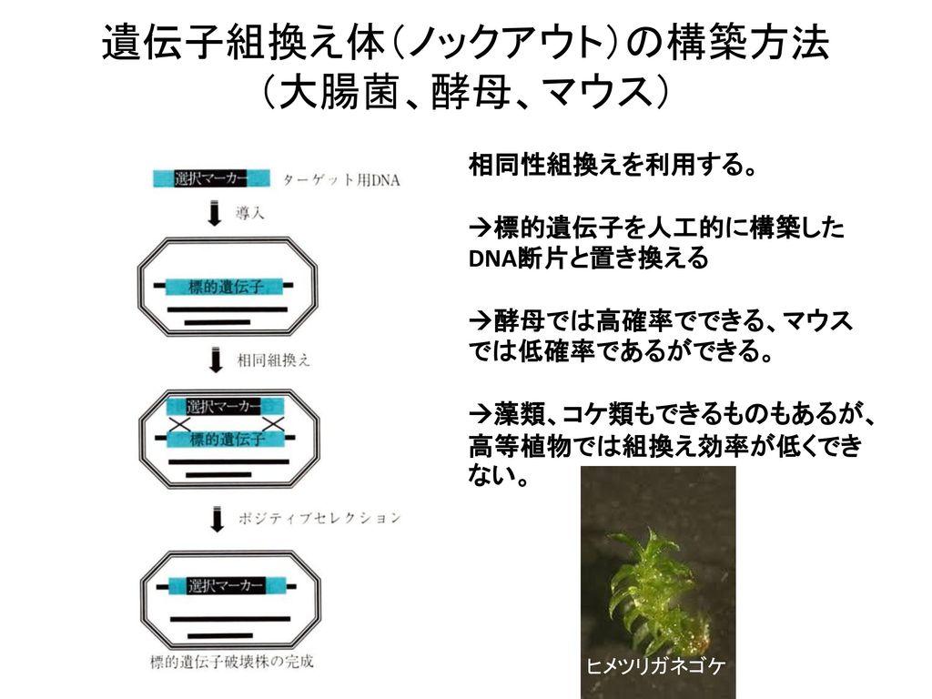 遺伝子組換え体(ノックアウト)の構築方法