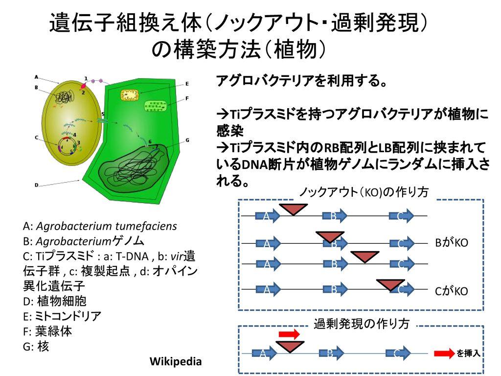 遺伝子組換え体(ノックアウト・過剰発現)