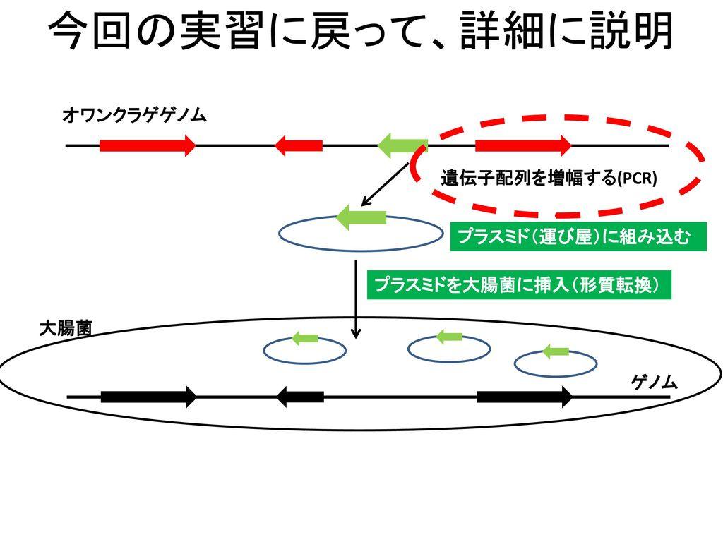 今回の実習に戻って、詳細に説明 オワンクラゲゲノム 遺伝子配列を増幅する(PCR) プラスミド(運び屋)に組み込む