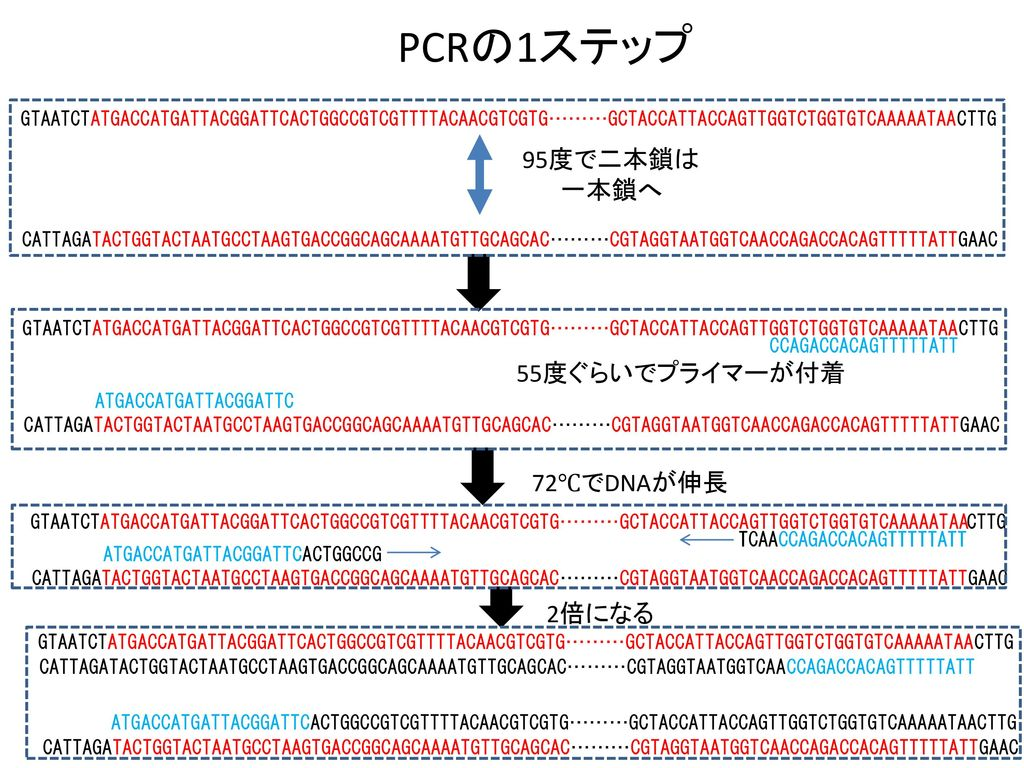 PCRの1ステップ 95度で二本鎖は 一本鎖へ 55度ぐらいでプライマーが付着 72℃でDNAが伸長 2倍になる