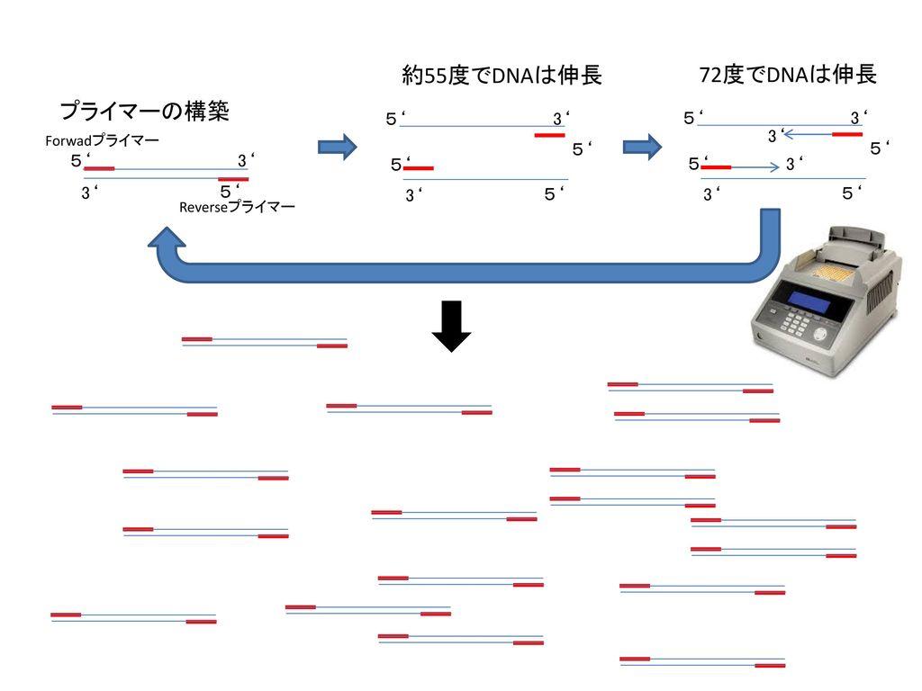 約55度でDNAは伸長 72度でDNAは伸長 プライマーの構築 5' 3' 5' 3' 3' 5' 5' 5' 3' 5' 5' 3' 3'