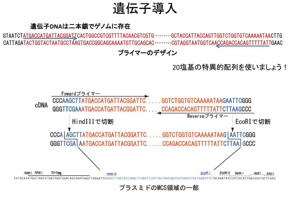 遺伝子導入 20塩基の特異的配列を使いましょう! 遺伝子DNAは二本鎖でゲノムに存在 プライマーのデザイン