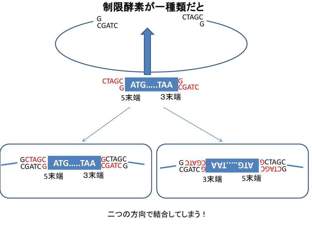 制限酵素が一種類だと ATG…..TAA ATG…..TAA ATG…..TAA G CTAGC CGATC G CTAGC G G