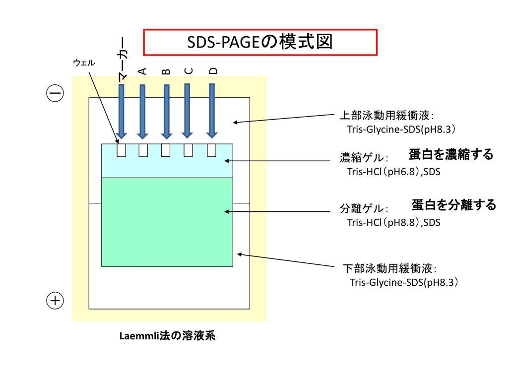 SDS-PAGEの模式図 マーカー A B C D ー 蛋白を濃縮する 蛋白を分離する + 上部泳動用緩衝液: