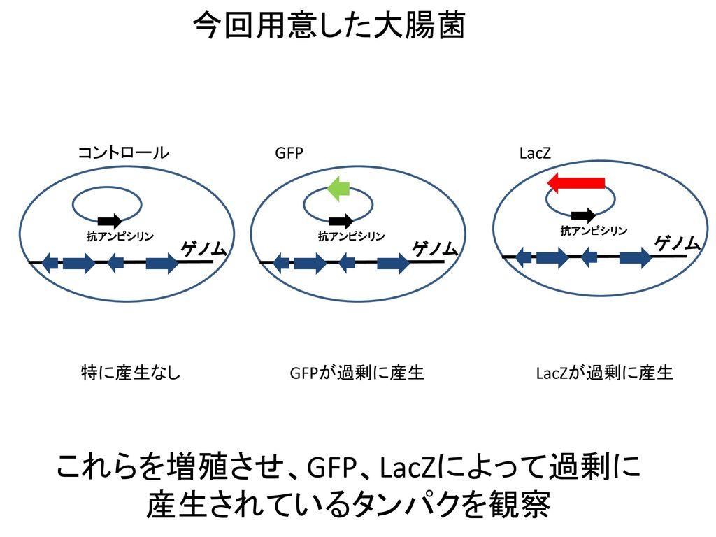これらを増殖させ、GFP、LacZによって過剰に