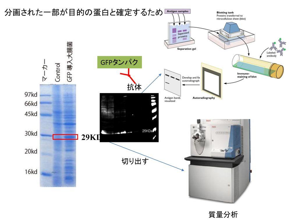 分画された一部が目的の蛋白と確定するため