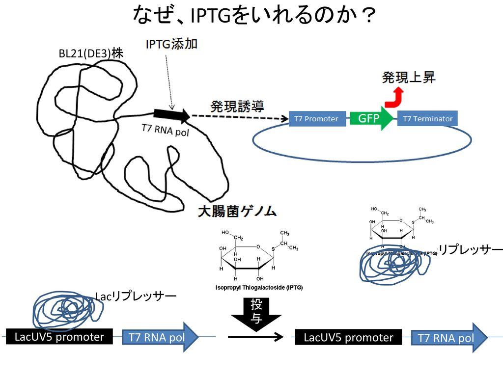 なぜ、IPTGをいれるのか? BL21(DE3)株 Lacリプレッサー Lacリプレッサー 投与 T7 RNA pol