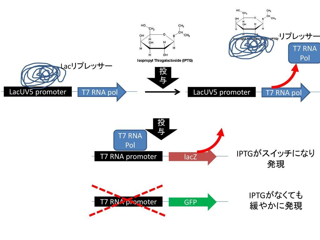 IPTGがスイッチになり 発現 IPTGがなくても 緩やかに発現 Lacリプレッサー T7 RNA Pol Lacリプレッサー 投与