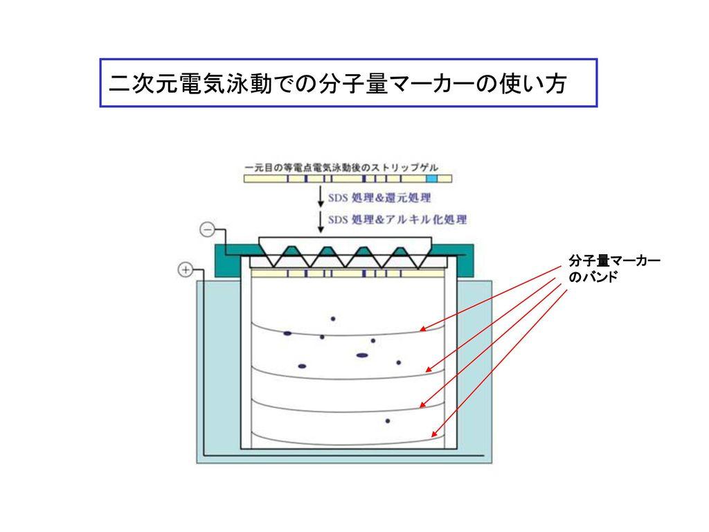 二次元電気泳動での分子量マーカーの使い方
