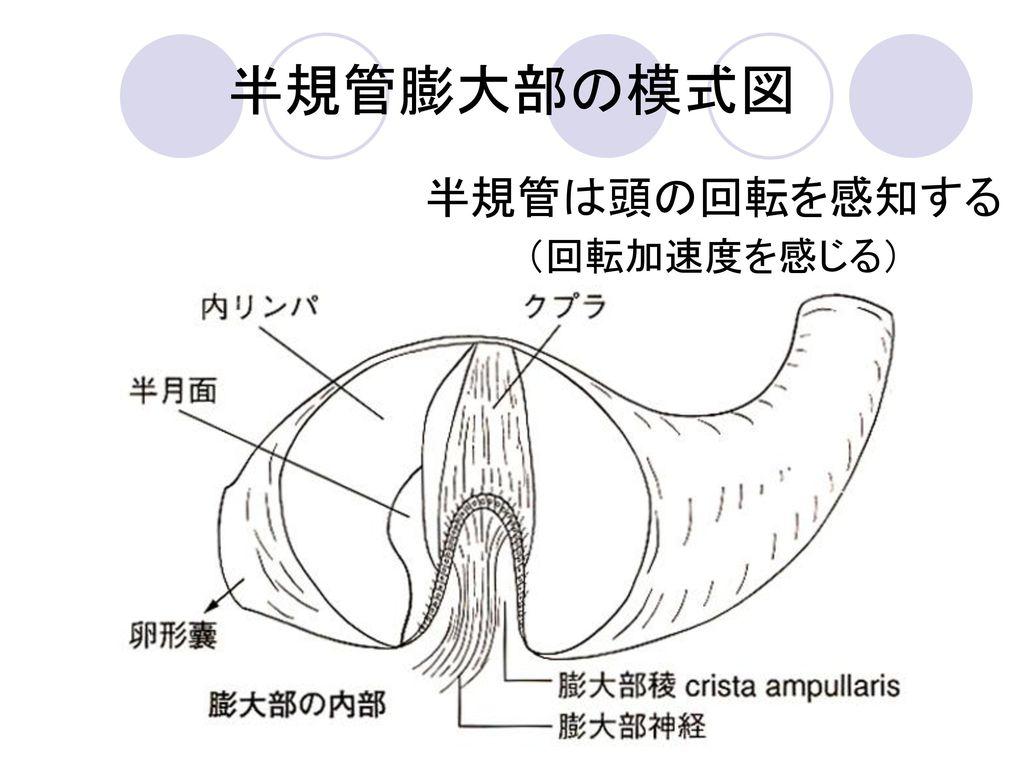 半規管膨大部の模式図 半規管は頭の回転を感知する (回転加速度を感じる)
