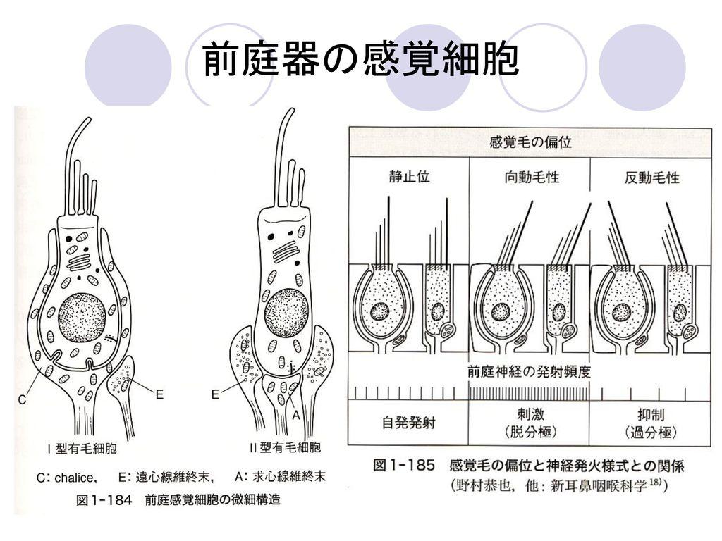 前庭器の感覚細胞