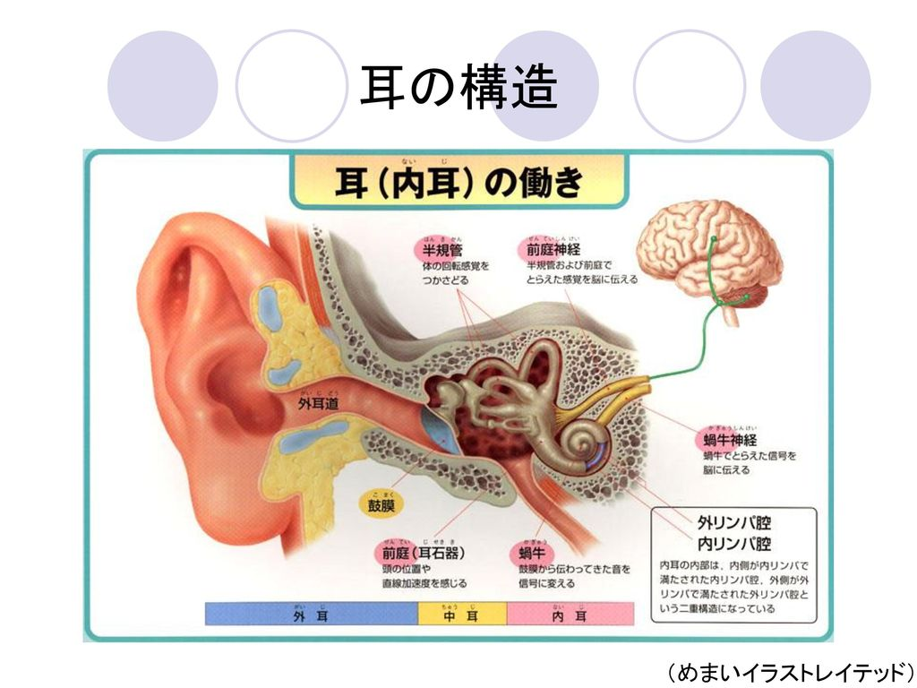 耳の構造 (めまいイラストレイテッド)