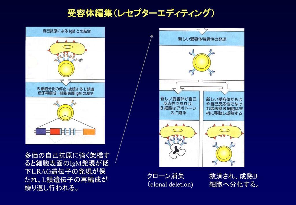 受容体編集(レセプターエディティング) 多価の自己抗原に強く架橋すると細胞表面のIgM発現が低下しRAG遺伝子の発現が保たれ、L鎖遺伝子の再編成が繰り返し行われる。 クローン消失. (clonal deletion)