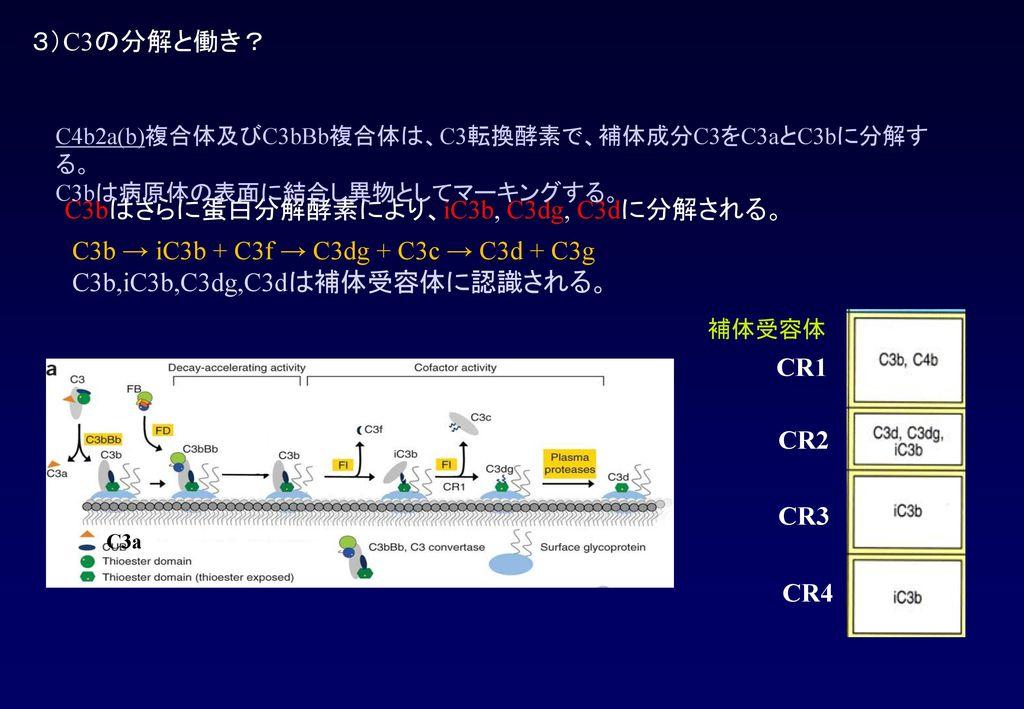 C3bはさらに蛋白分解酵素により、iC3b, C3dg, C3dに分解される。